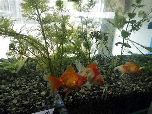 写真3金魚1