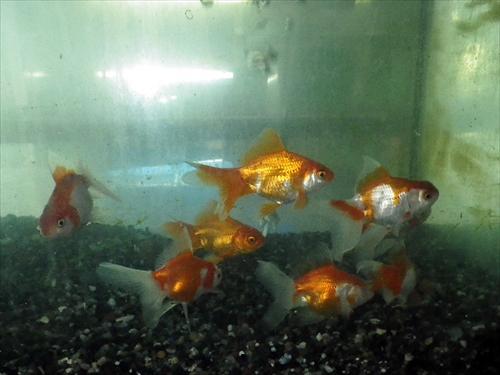 写真5金魚3