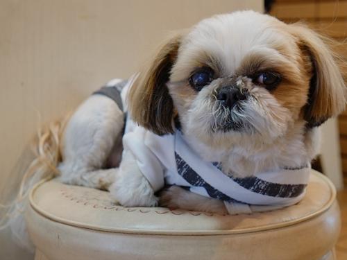 ミキ2看板犬